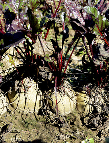 Beets in October