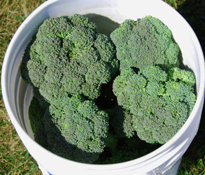 Broccoli by the bucketful!