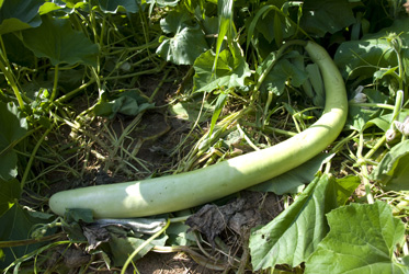Cucuzzi or pale green snake gourd