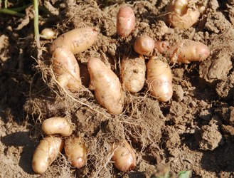 Fingerling potatoes fresh out of the ground