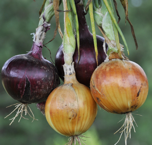 Onions, red and yellow