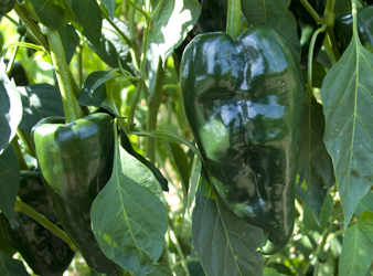 Green-ripe peppers
