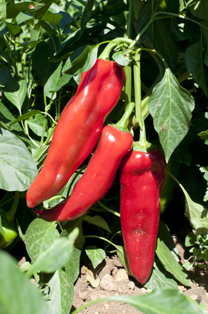 Red ram's horn peppers