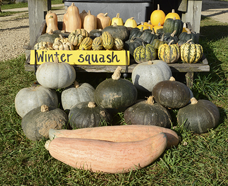 Pre-picked winter squash