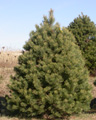 A 7 foot Scotch pine Christmas tree at The Tree Farm