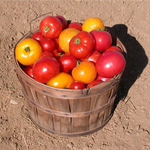 Basket of Tomatoes at the Tree Farm